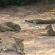 Stock Photo: Sleeping lions