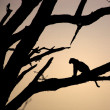 Stock Photo: Leopard sitting in tree
