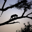 Stock Photo: Silhouetted Leopard