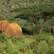 Two elephants walking through the grass — Stock Photo