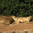 Stock Photo: Lions basking in sunshine