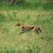 Stock Photo: Cheetah on run