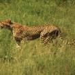 Stock Photo: Single cheetah running through grass