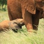 Baby elephant feeding — Stock Photo