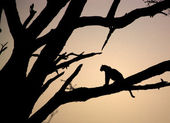 Leopard sitting in a tree — Stock Photo