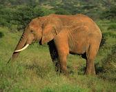 Elephant eating — ストック写真