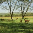 Herd of impala — Stock Photo