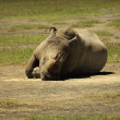 Stock Photo: Sleeping Rhino