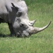 Stock Photo: White Rhinoceros