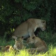 Stock Photo: Lions sheltering from midday sun