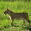 Stock Photo: Lion cub