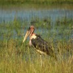 Single Marabou stork — Stock Photo #28778823