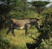 Zebra zu fuß durch die bäume — Stockfoto