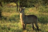 Female waterbuck — Foto Stock
