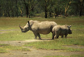 Mother and baby Rhino — Stock Photo