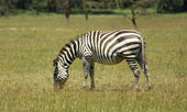 Zebra at Lake Nakuru — Stock Photo