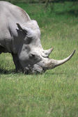 White Rhinoceros — Foto Stock