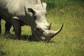 Rhino covered in flies — Stock Photo