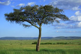 Masai Mara tree — Stock Photo