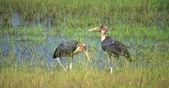 Two Marabou storks — Stock Photo