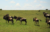 Running wildebeest — Stock fotografie