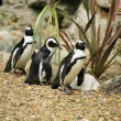 Black footed penguins — Stock Photo