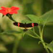 Postman Butterfly — Stock Photo
