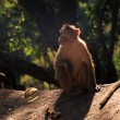 Stock Photo: Langur Monkey, Goa, India