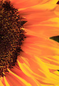 Close up of the florets and petals of a sunflower — Stock Photo