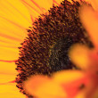 Fine art sunflower — Stock Photo