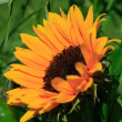 Stock Photo: Orange sunflower against a green background