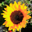 Stock Photo: Sunflower lit by sun