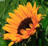 Orange sunflower against a green background — Stock Photo
