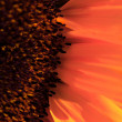 Macro shot of a sunflower — Stock Photo
