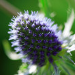 Sunlit sea holly — Stock Photo