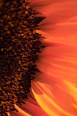 Macro shot of a sunflower — 图库照片