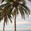 Palm Trees Varadero Beach Cuba — Stock Photo