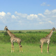 Stock Photo: Panoramic view of four symmetrical giraffe