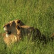 Stock Photo: Lioness and her cubs in grass