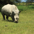 Stock Photo: Rhino eating grass