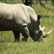 Stock Photo: White Rhino and birds