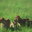 Stock Photo: Family of lions