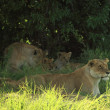 Stock Photo: Female lions
