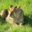 Stock Photo: Lioness in grass