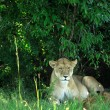 Stock Photo: Lioness resting under tree