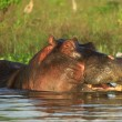 Hippo in the water — Stock Photo