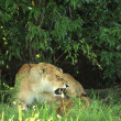 Lioness with her cubs — Stock Photo #31667287