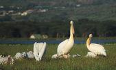 Pelikanen — Stockfoto