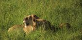 Lvice a její mláďata v trávě — Stock fotografie