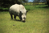 Rhino eten van gras — Stockfoto
